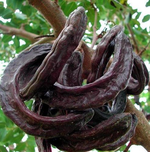 alfarrobeira ceratonia siliqua 50 sementes fresca para mudas