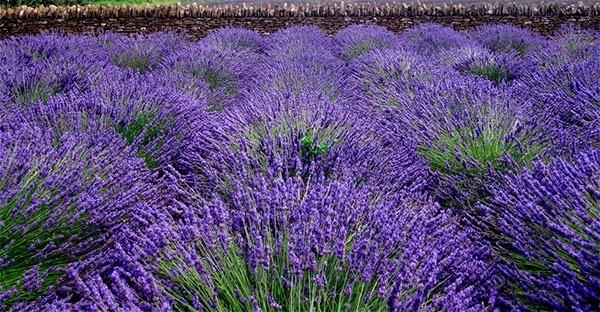 Alfazema lavanda francesa sementes importadas flor pra mudas r 13 14 em mercado livre Cultivar lavanda en casa
