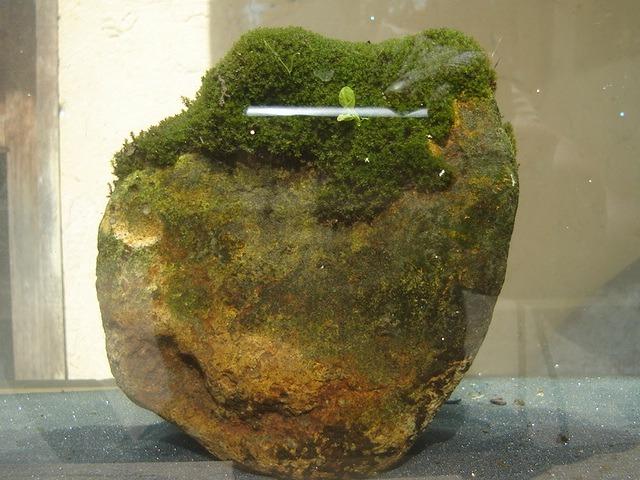 Algas acuarios peces estanques ornamentales musgo for Estanques para peces ornamentales