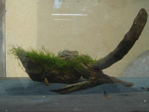 Algas acuarios peces estanques ornamentales musgo troncos for Acuarios ornamentales