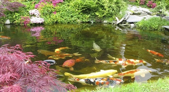 Alimento carpas koi 5kg peces japoneces estanques plantas for Comida para peces de estanque
