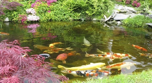 Alimento carpas koi 5kg peces japoneces estanques plantas for Estanque de peces