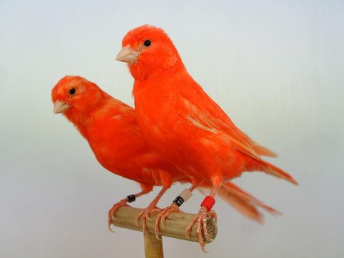 alimento para canarios ocell