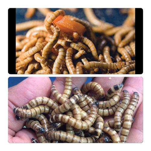 alimento para peixes ornamentais 1.000 un tenebrio larvas