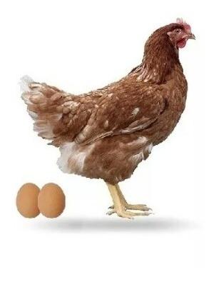 alimento ponedoras de gallinas