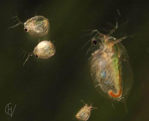 alimento vivo: daphnia magna, pulga de agua