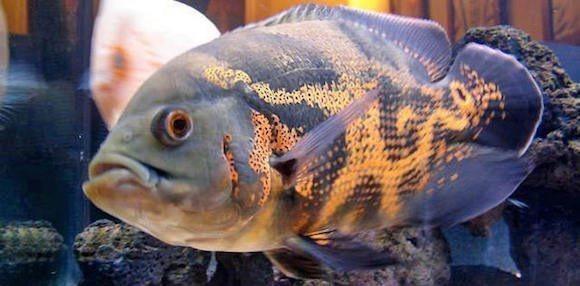Fotos de pez oscar 3