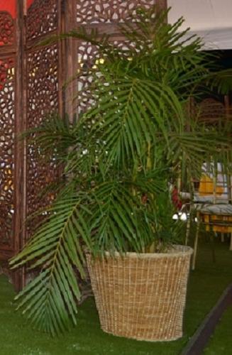 alquiler de parabanes y palmeras decorativas
