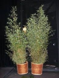 alquiler palmeras bambucillos plantas ornamentales