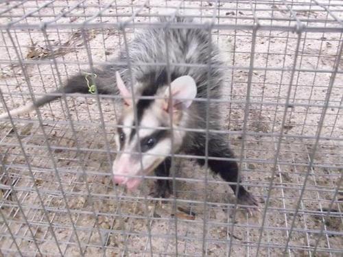 alquiler trampas para zarigüeyas zorros, mapaches, gatos