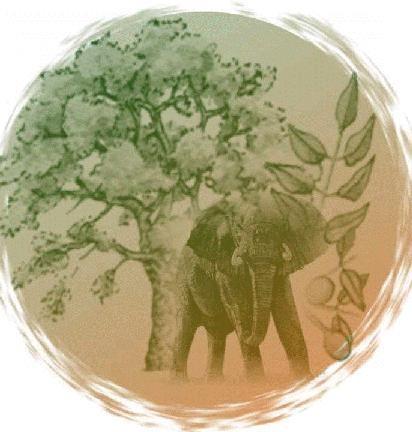 amarula sementes de sclerocaya birrea ssp caffra marula