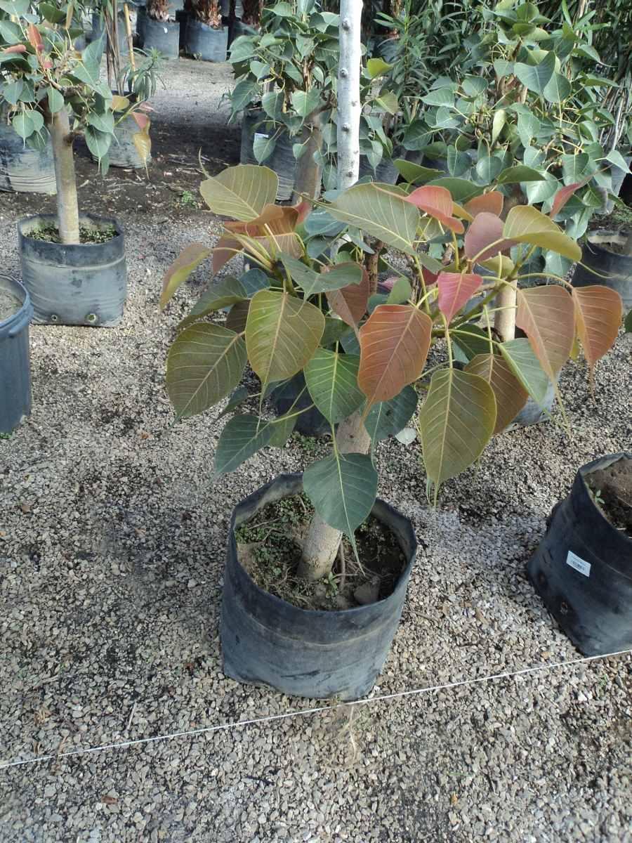 Amate sagrado ficus religiosa para bonsai o crecimiento for Donde venden plantas