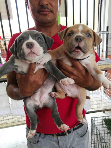 american bully cachorrotes