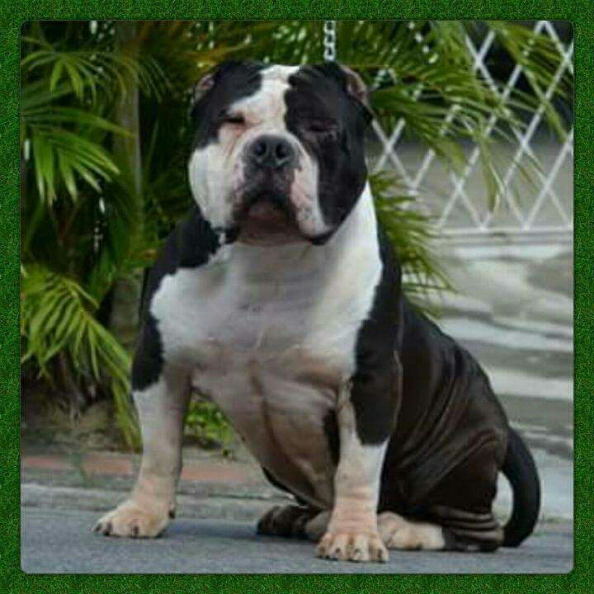 american bully com pedigree r 280000 em mercado livre