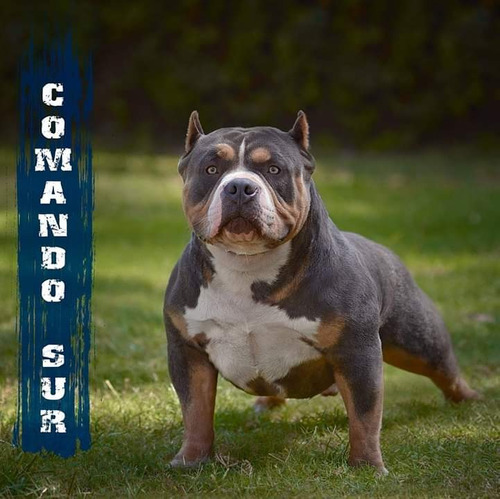 american bully disponibles