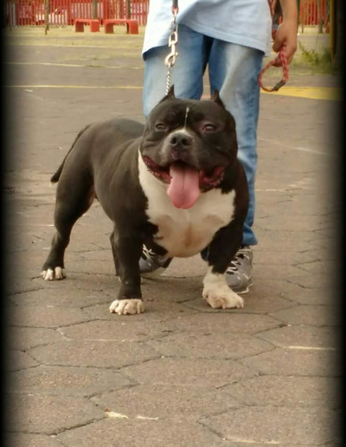 american bully hembras extremas dax line,iphone,cbr,r1