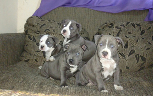 american pitt bull bully top filhotes azuis!!!!top
