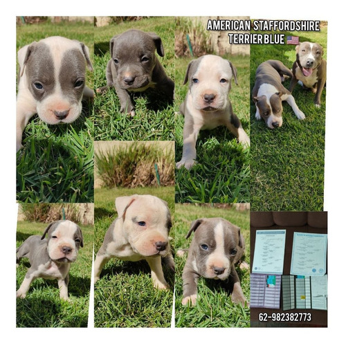 american staffordshire terrier blue