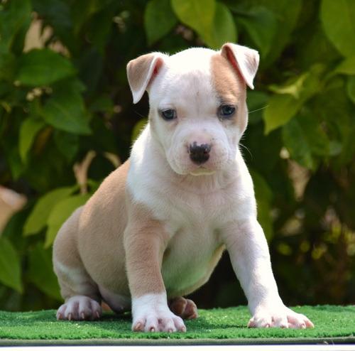 american staffordshire terrier cachorros.