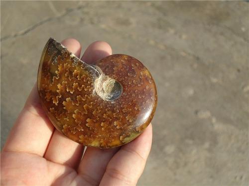 amonite fóssil jade raro madagascar pedra concha