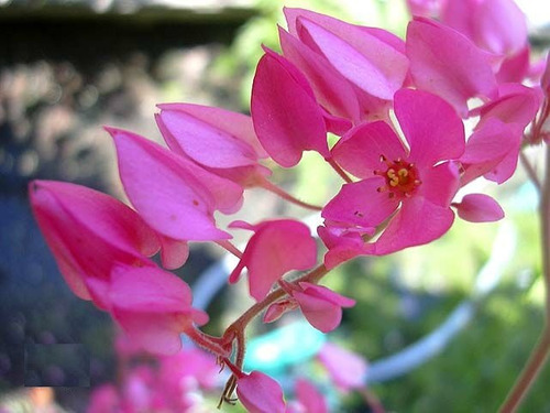 amor agarradinho trepadeira coral vine antigonon sementes
