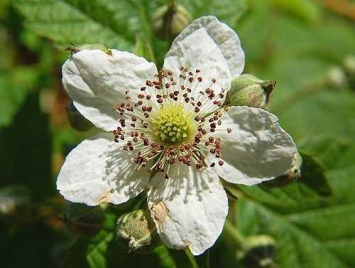 amora preta gigante - blackberry - rubus sementes para mudas