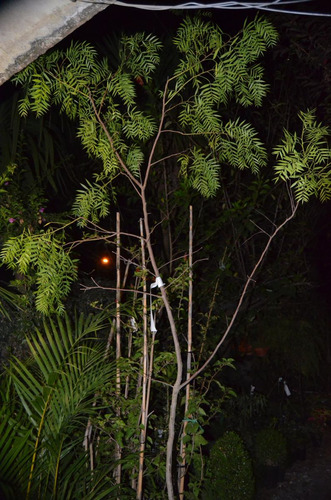 anacahuitas grandes de 2  mts de alt. hermosa da sombra