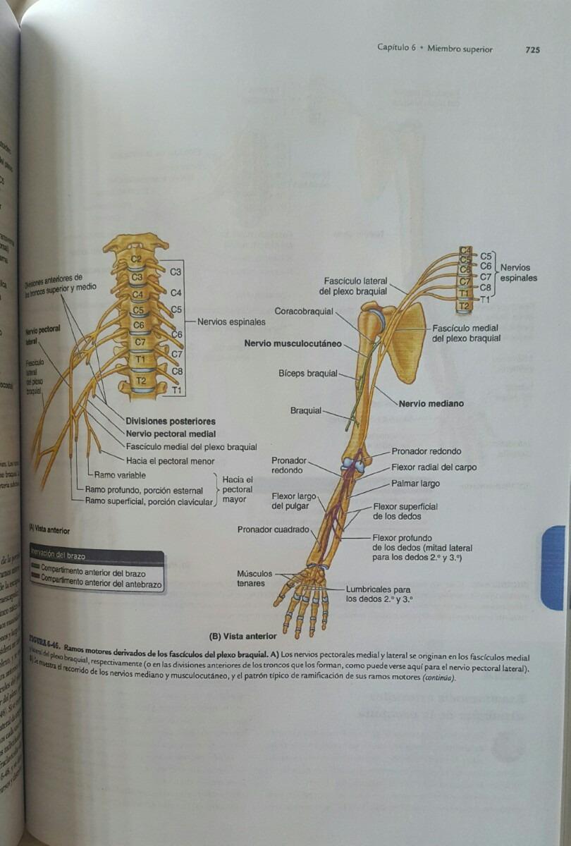 Increíble Miembro Superior Anatomía Clínica Inspiración - Anatomía ...