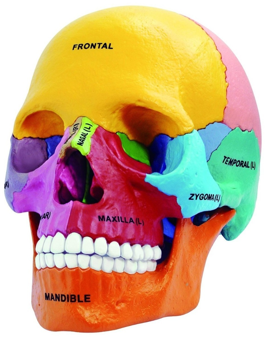 Anatomia Cuerpo Humano Modelo Cráneo - Recurso Didactico - $ 999.00 ...