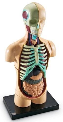 Anatomia Cuerpo Humano Modelo - Recurso Didactico - $ 799.00 en ...