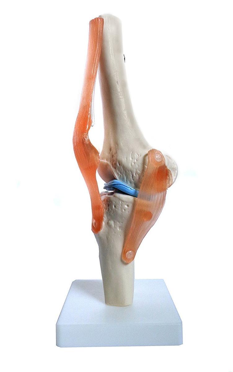 Anatomía De La Rodilla Articulación Humana Huesos Modelos An ...