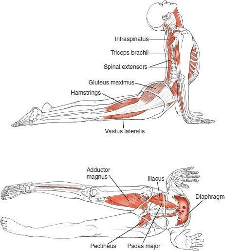 Anatomia Del Yoga / Yoga Anatomy Leslie Kaminoff Todos Pdf ...