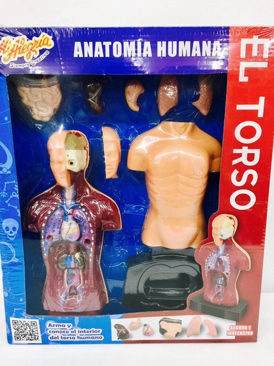 Anatomia Humana El Torso Modelo Escala 24 Cm Mi Alegria - $ 359.00 ...