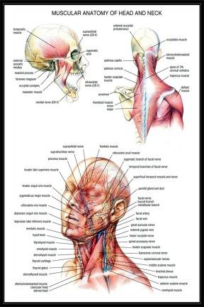 Anatomía Humana Muscular De Cabeza Y Cuello Lámina 45x30 Cm. - $ 380 ...