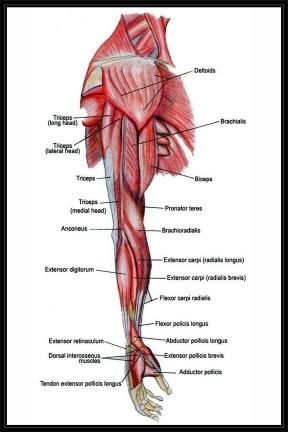 Anatomía Humana - Músculos Del Brazo - Lámina 45x30 Cm. - $ 380,00 ...
