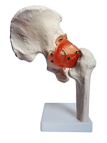 Anatomía Modelo De Modelos De Articulación De La Cadera Arti ...