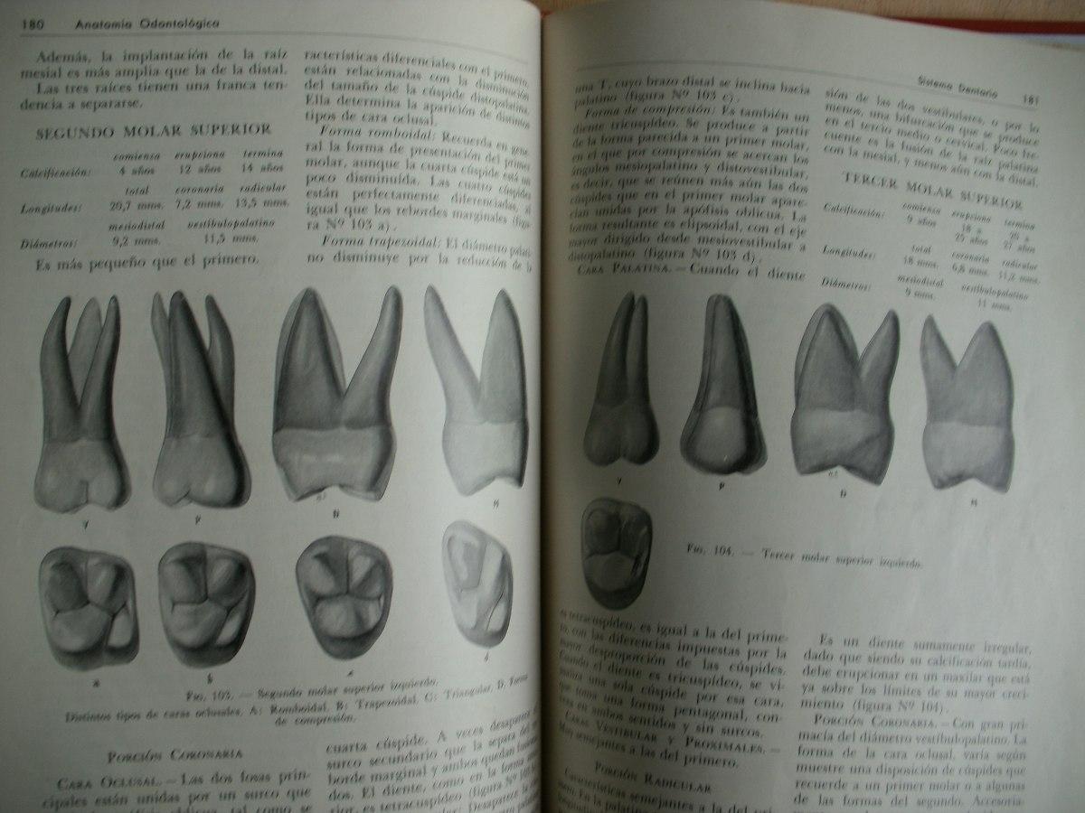 anatomia dentaria figun