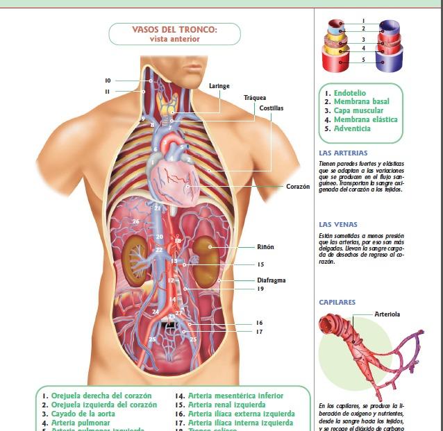anatomia-y-fisiologia-del-cuerpo-humano -D_NQ_NP_190915-MLV25340685854_022017-F.jpg