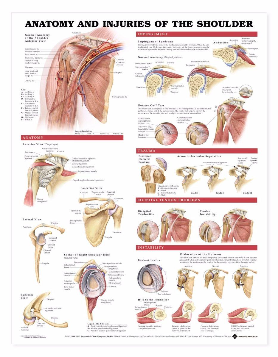 Perfecto Imagen Anatomía Del Hombro Viñeta - Anatomía de Las ...