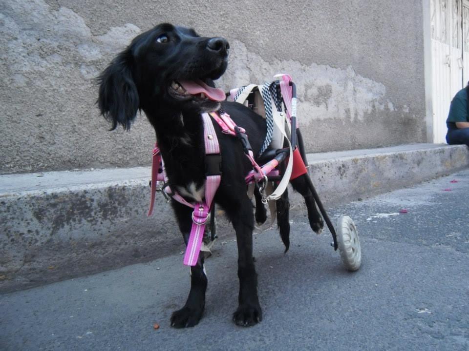 Andadera silla de ruedas carrito para perro carretilla for Sillas para viejitos