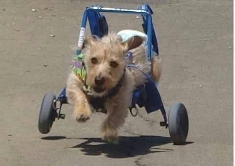 Andadera silla ruedas carrito para perro carretilla car for Carritos para perros