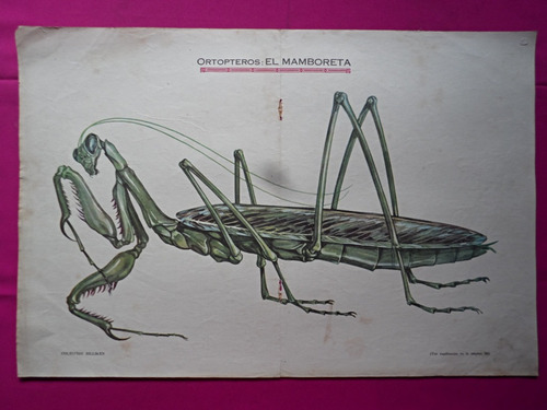 antigua lamina coleccion billiken ortopteros el mamboreta