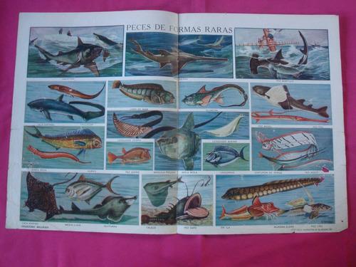 antigua lamina coleccion billiken - peces de formas raras