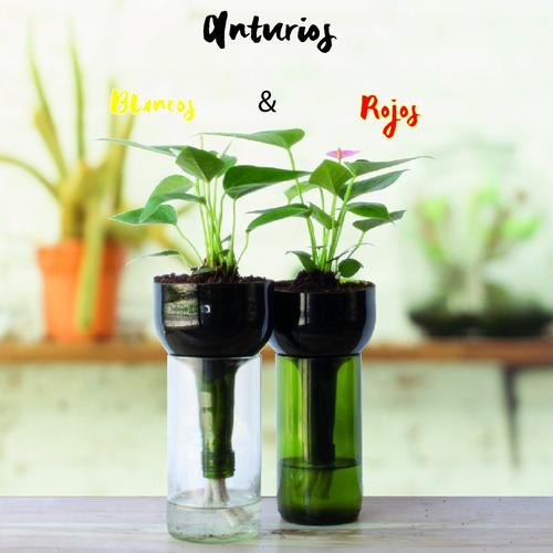 anturio little plant 24 sin soporte, maceta autorregante