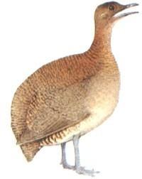 apito jaó 30 profissional pio chama ave aves animal pássaro