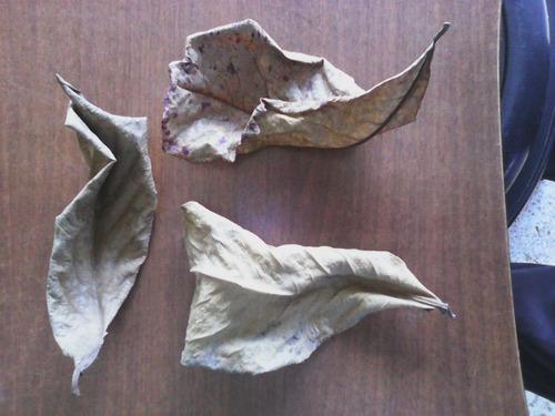 aqua quito - hojas de almendro