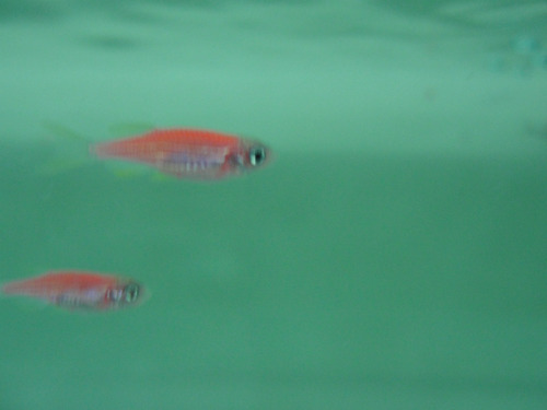aqua quito - peces ornamentales - cebritas fucsia y verde