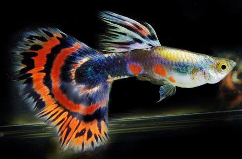 aqua quito - pez guppy
