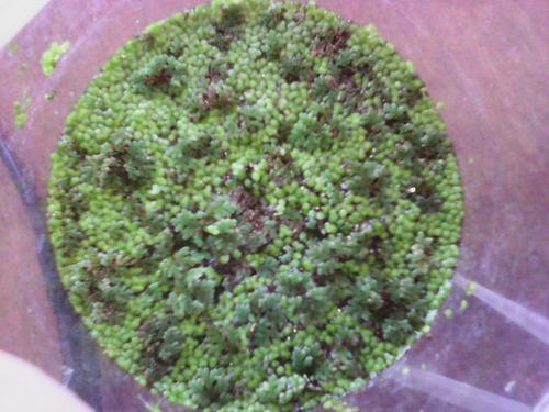 aqua quito - plantas - azolla