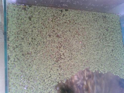 aqua quito - plantas vivas - lenteja de agua